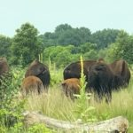 The bison herd in Minneopa State Park