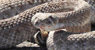 Close up of the injured rattlesnake showing its injured tail.
