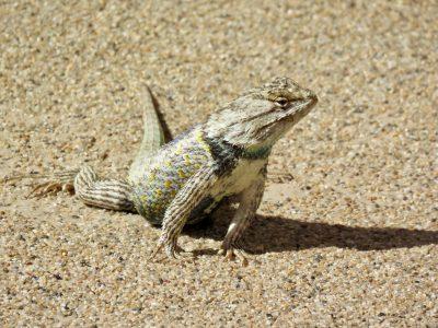 casa-grande-lizard