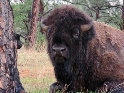 custer-buffalo-spring-bull-portrait