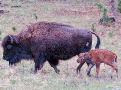 custer-buffalo-spring-newborn-3