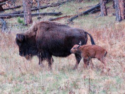 custer-buffalo-spring-newborn-4