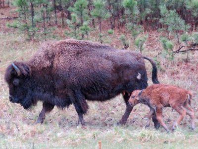 custer-buffalo-spring-newborn-5