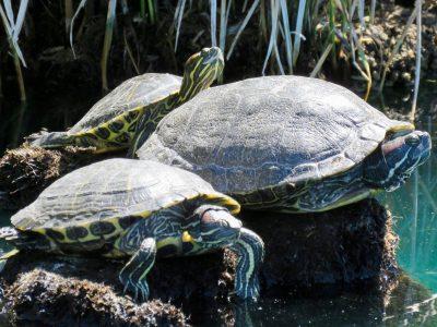 gilbert-riparian-preserve-turtles3