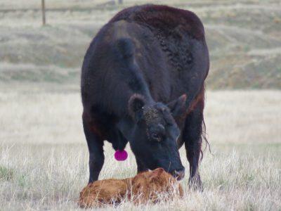 wyoming-newborn-calf-2