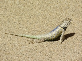 casa-grande-lizard-colors