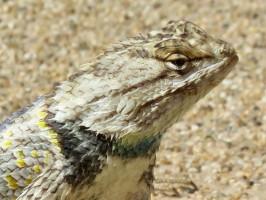 casa-grande-lizard-head