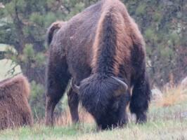 custer-buffalo-spring-stripes