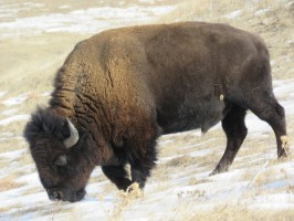 Buffalo bull in the winter