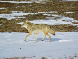 Coyota in winter in Custer State Park