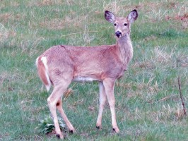 custer-spring-whitetail-1