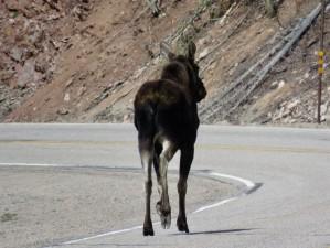 stagecoach-state-park-colorado-moose-1