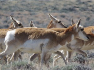 wyoming-antelope-3